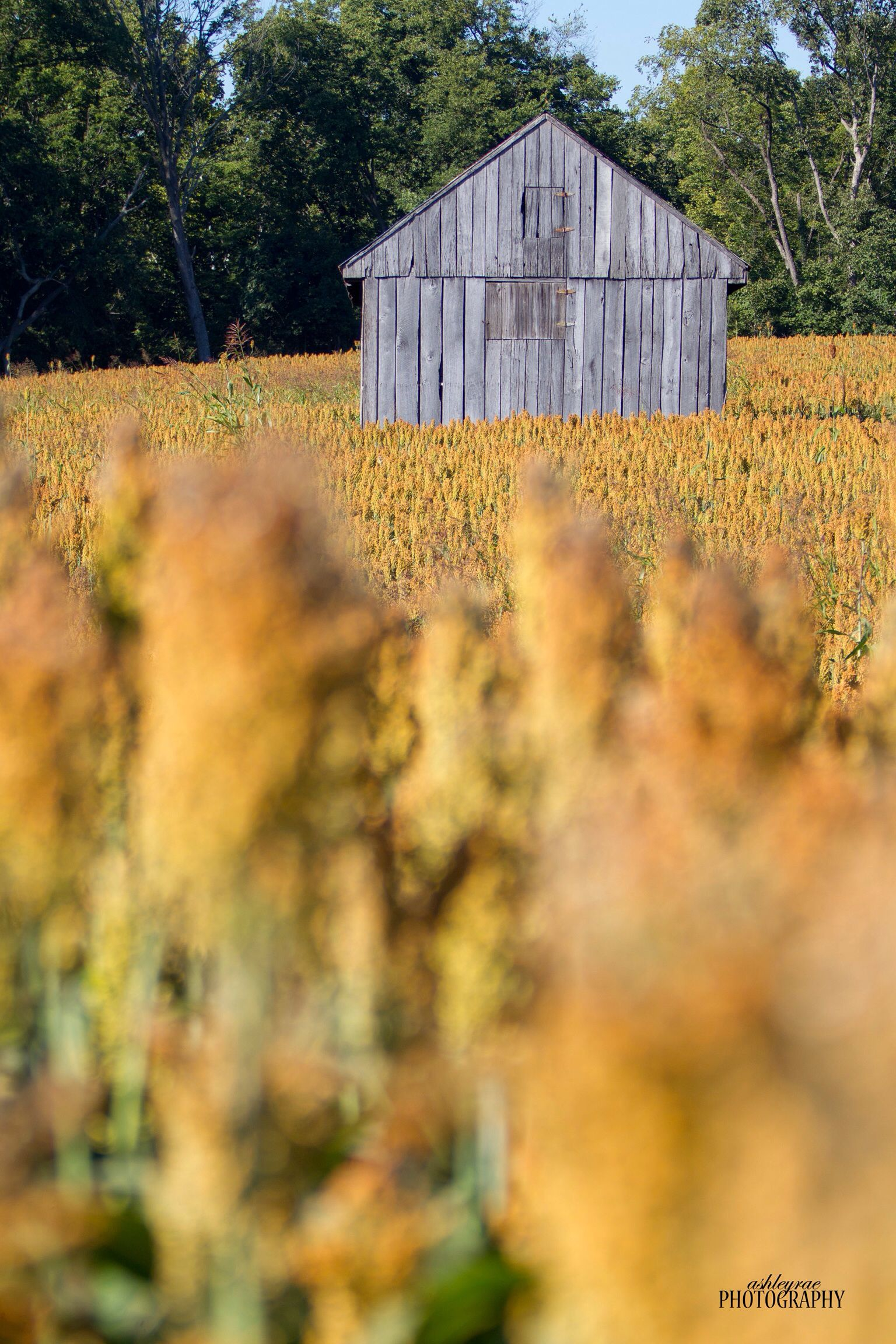 #Barn #Focus #Blurred #Sorghum #Milo #Country #CountryLife #Crop #Crops #Outdoor #Perfection #Love #Pretty #Fall #AshleyRaePhotography ©Ashley Rae Photography