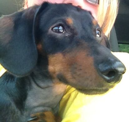 My little kaninchen dachshund Molly! Waiting on her granny to get off work!
