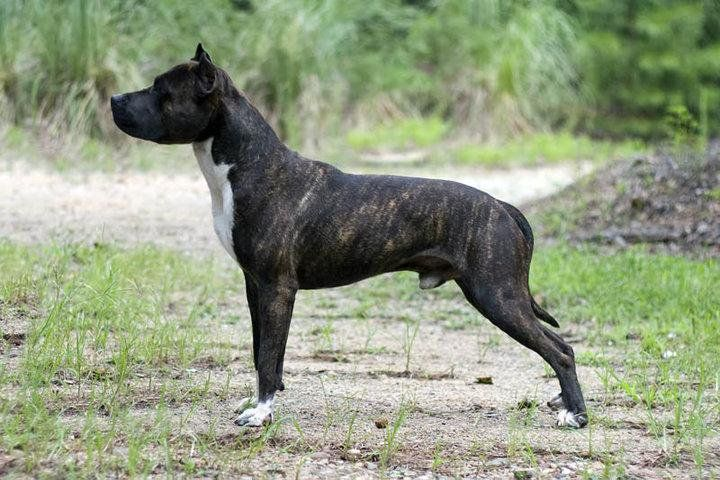 American Staffordshire Terrier Dog Breed Information Dog Breeds
