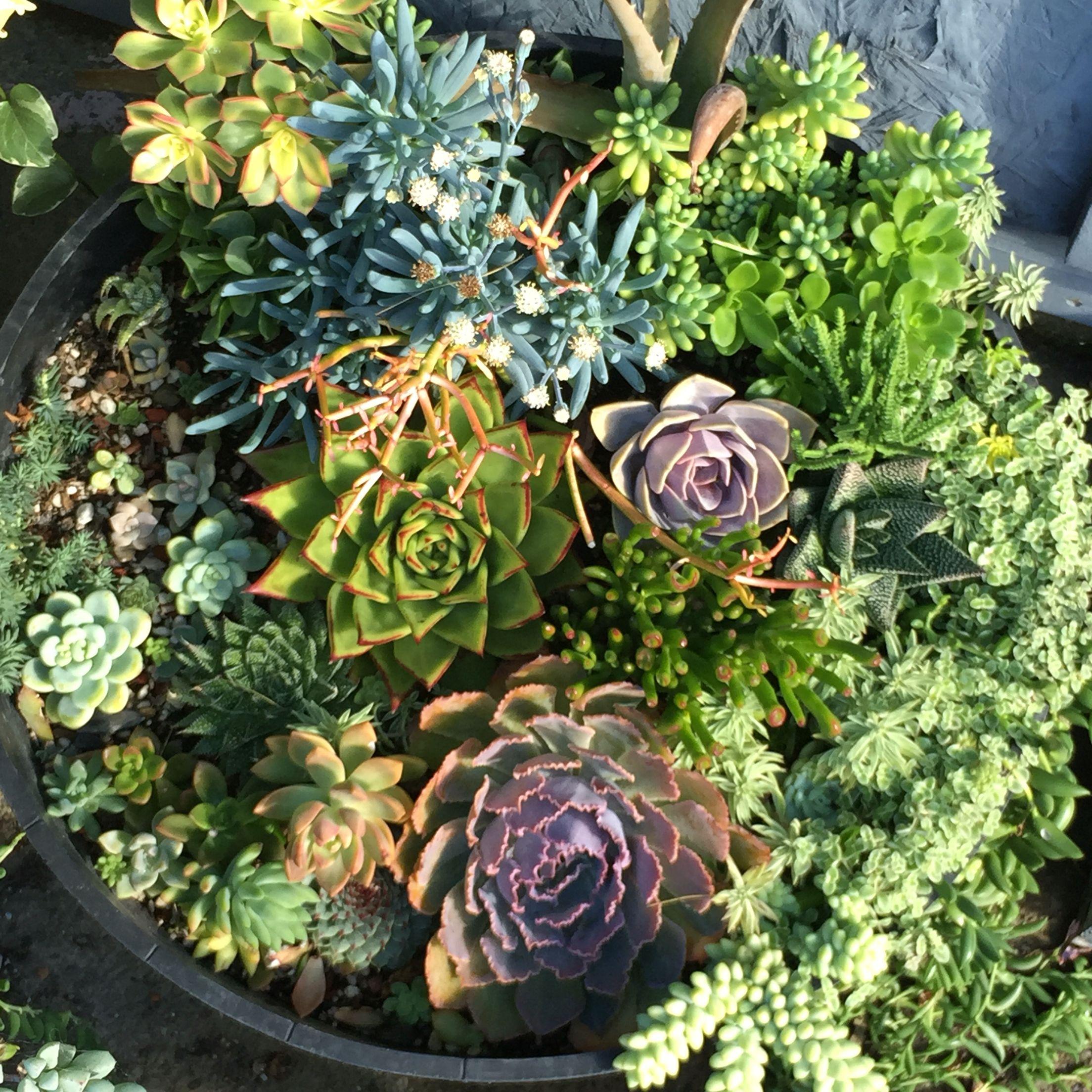 Susan's Garden, Murphyfrog, Succulent, Drought Resistant, Wine Barrel,  Colorful, Flower