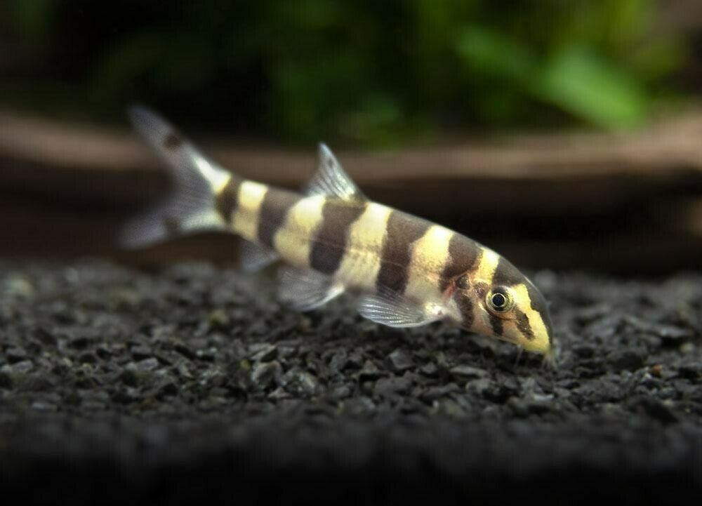 Pin On Loaches