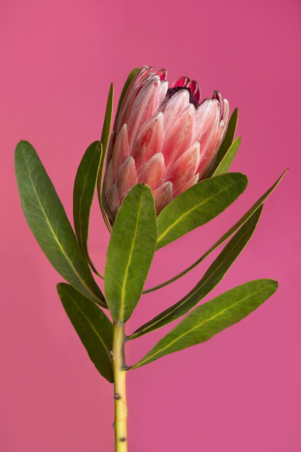 Pin By Maria Morris On Drawings In 2020 Protea Flower Australian Flowers Protea Art