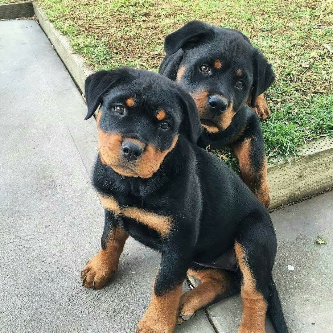 Pin by Mindy Zimmerman on ROTTIES!!!! Rottweiler puppies