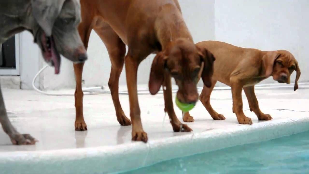 Vizsla Pool Time Vizsla Most Beautiful Dog Breeds Dog Sitting