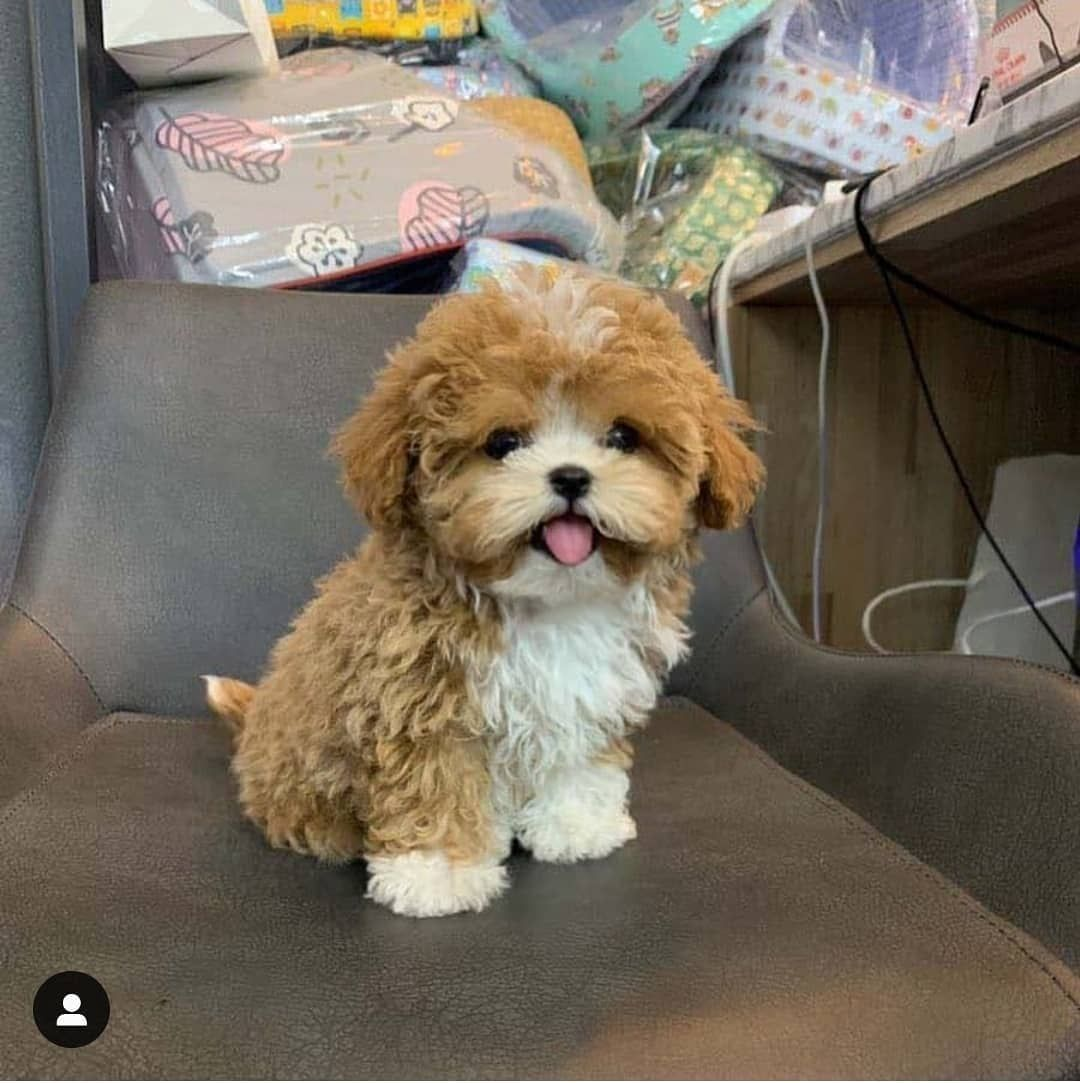 Tinny nugget   Rate this cute out of 10  Follow@dogs_care_club Credit@dogyam_ . . . . . #poodle#poodles#poodlemix#poodlepuppy#poodlelove#puppies#adorable#poodlepuppies#poodlelife#maltipoo#maltipoodle#teacuppom#teacuppuppies#dog#dogs#minidog#doglovers#smol#baby#babyanimal#babypets#whitepoodle#dogsofnyc#dogsofnewyork#california#losangeles#newyork#miami#mexico