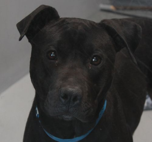 CAPTAIN - ID#A693123    My name is CAPTAIN.    I am a neutered male, black Pit Bull Terrier.    The shelter staff think I am about 2 years and 2 months old.    I have been at the shelter since Feb 22, 2013.