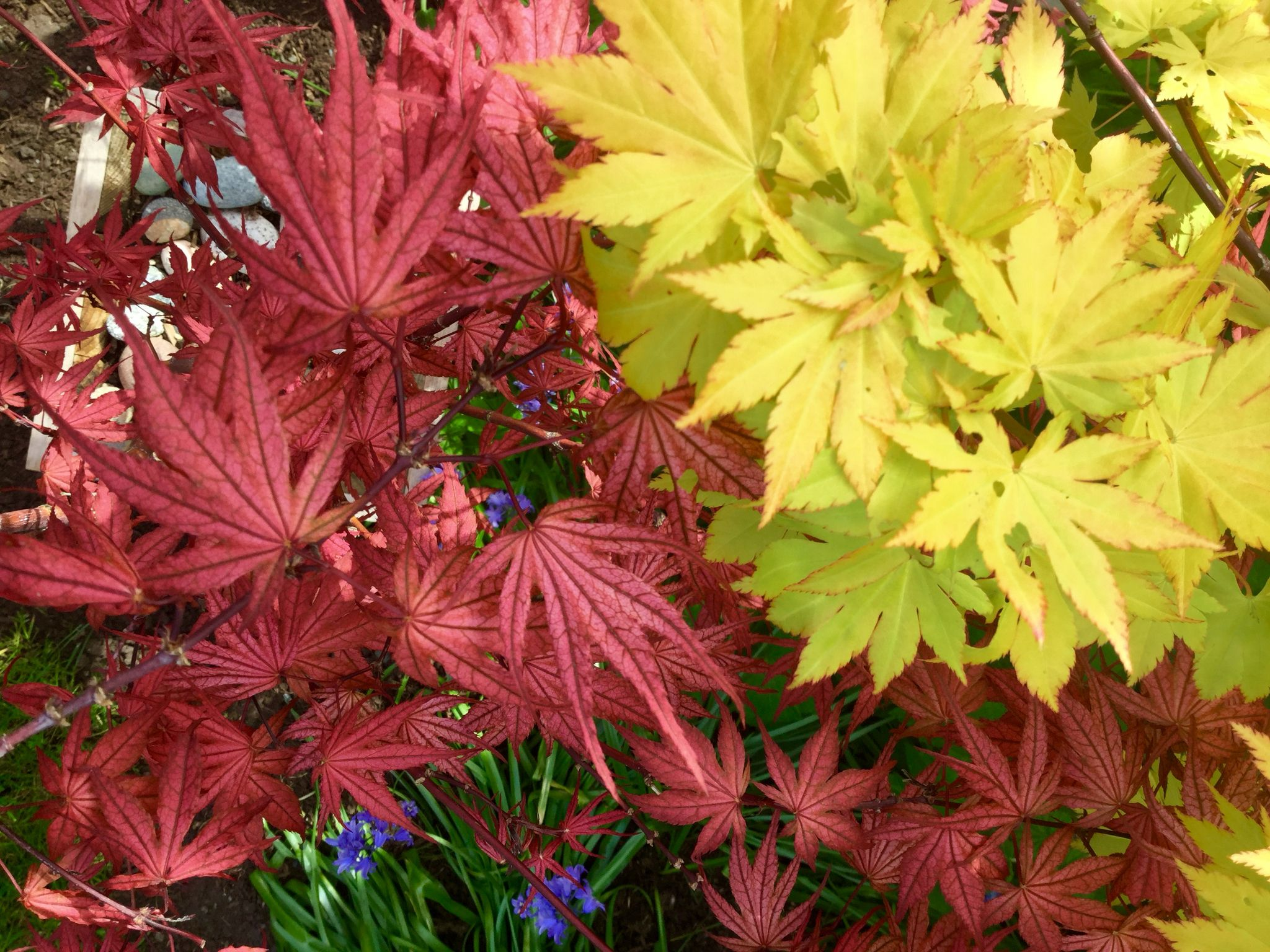 Acer Palmatum Olsens Frosted Strawberry And Acer Shirasawanum