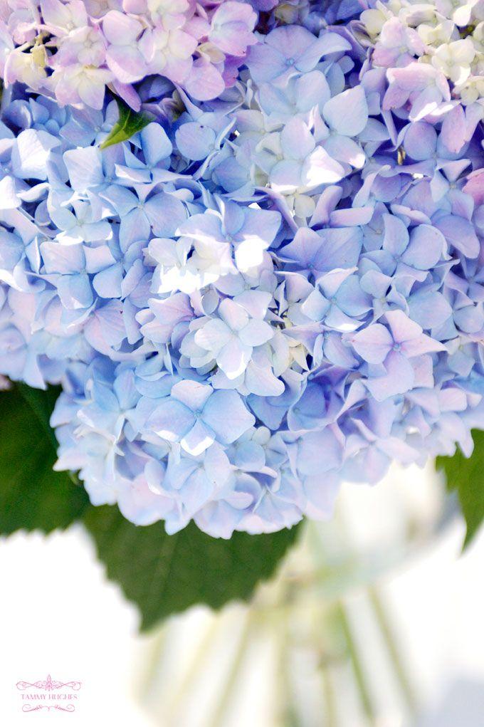 Tammy Hughes Hydrangea Wallpaper Grass Flower Flower Wallpaper