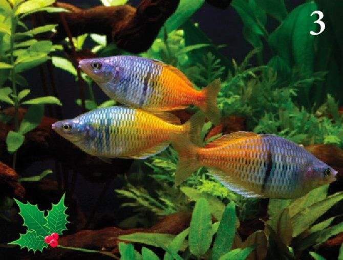 Boeseman S Boesemani Rainbowfish Melanotaenia Boesemani Fresh Water Fish Tank Aquarium Fish Freshwater Aquarium Fish