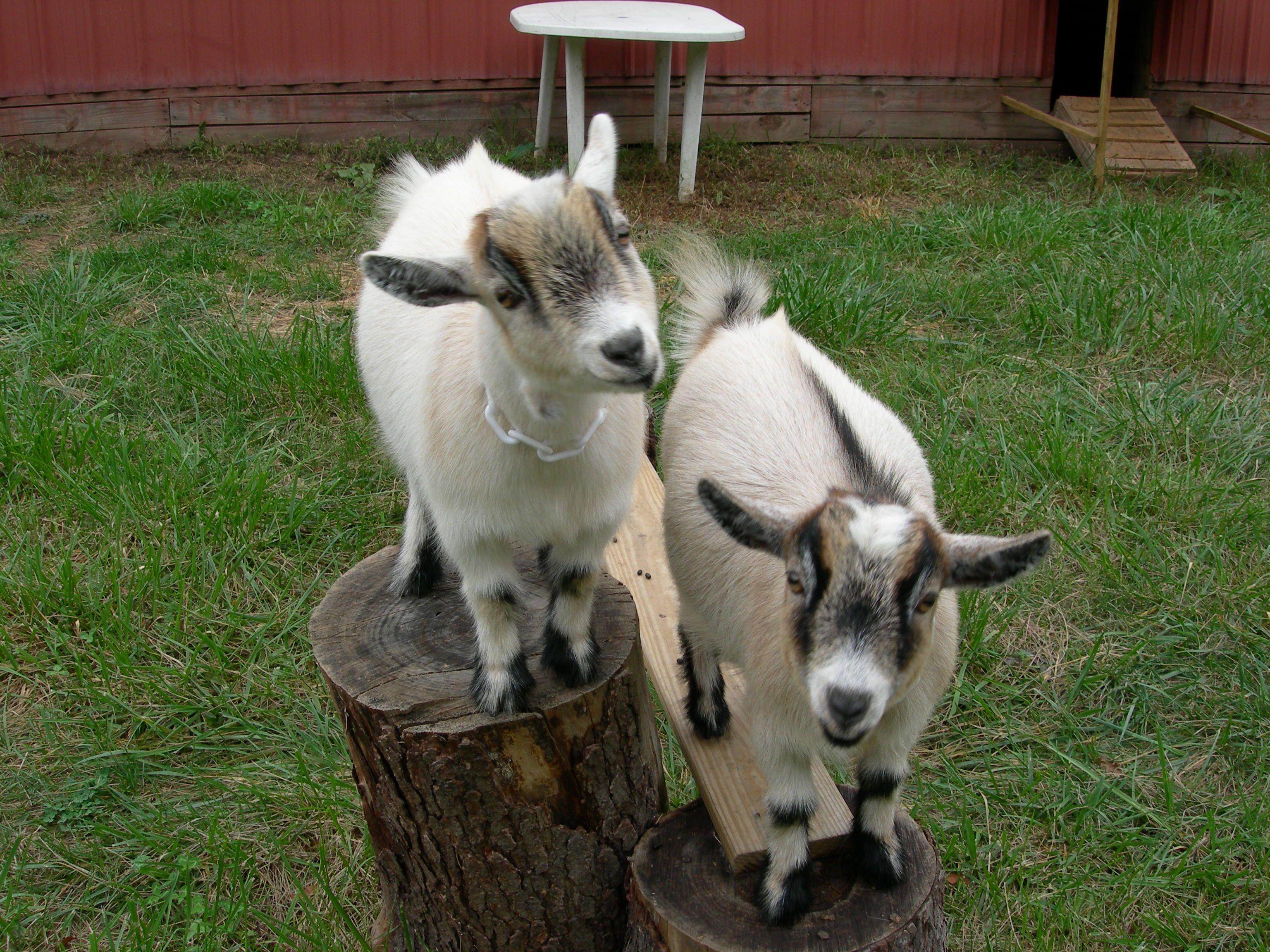 Pin by Jill Fleming on Animals Pygmy goat, Loyal dogs, Goats