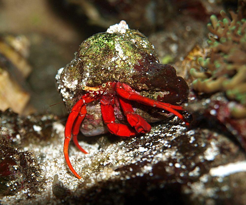 Hair Algae Eaters Scarlet Hermit Crab Reef Cleaners Hermit Crab Crab Hermit Crab Tank