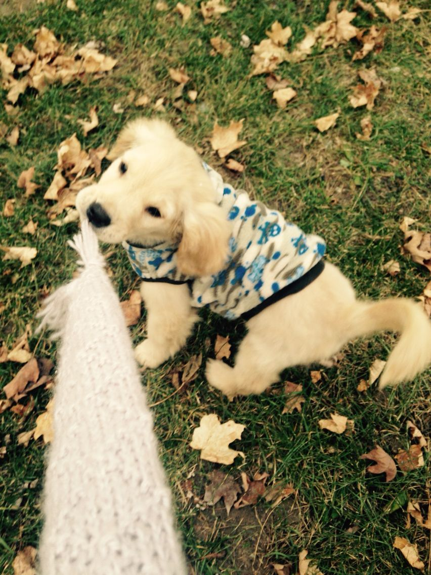 Golden Retriever Puppy Named Griffen Playing Tug Of War In The