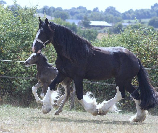 le shire le plus grand cheval au monde my life horses pinterest horse big horses and. Black Bedroom Furniture Sets. Home Design Ideas