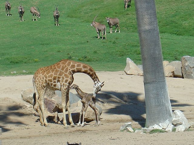 Baby giraffe, about 30 minutes old, in San Diego Wild Animal Park, photo by A Lefty via flickr
