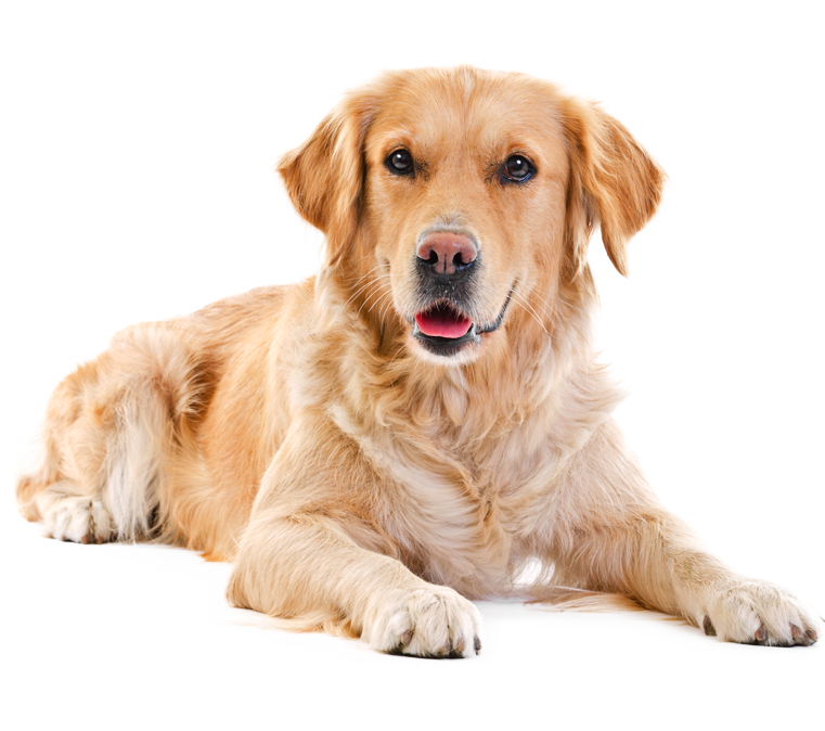 Labrador 2 Png 761 674 Therapy Dogs Breeds Dog Breeds List Therapy Dogs
