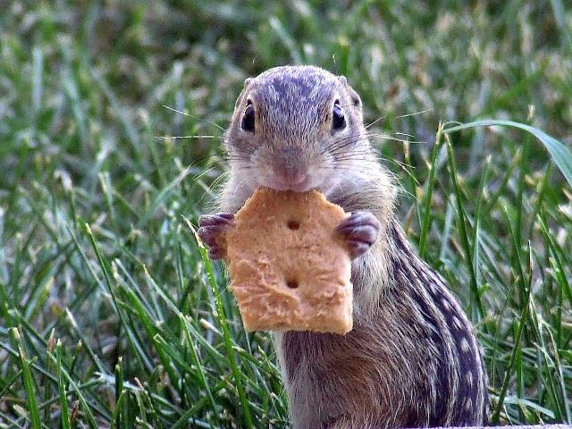 chipmunk want a cracker?
