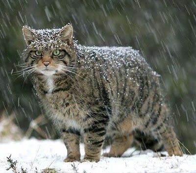 The Elusive Scottish Wild Cat Wild Cats