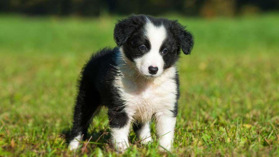 Border Collie Price Temperament Life Span In 2020 Border Collie Puppies Collie Puppies Collie