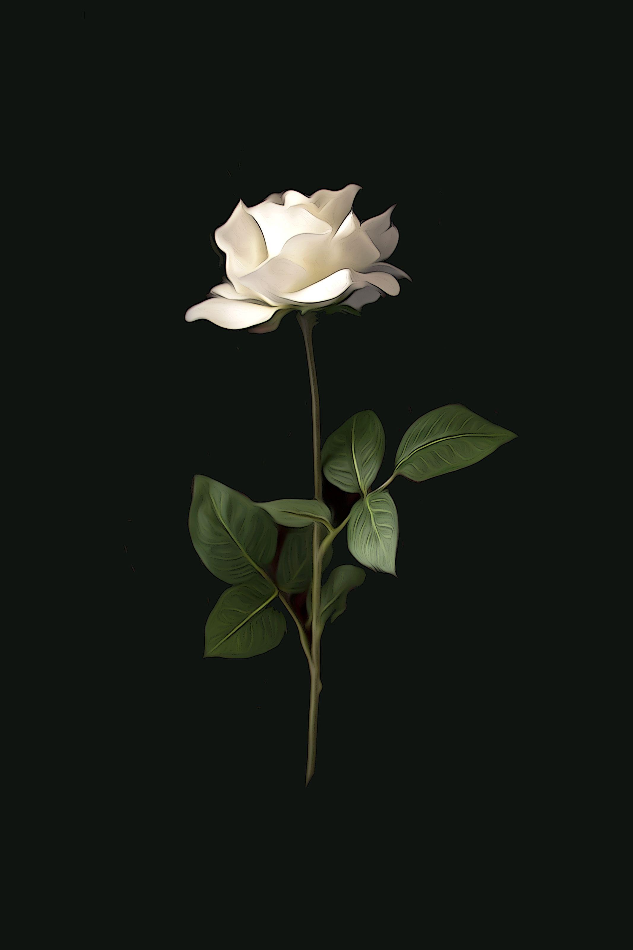 Single White Rose ()65 White roses background