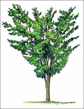 Selecting Trees By Shape Basic Tree Shape Pinterest Vase Vase