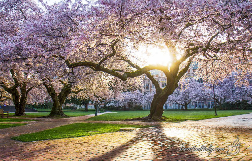 Potw University Of Washington Cherry Blossoms Danandholly Com Cherry Blossom Festival Cherry Blossom Cherry Tree