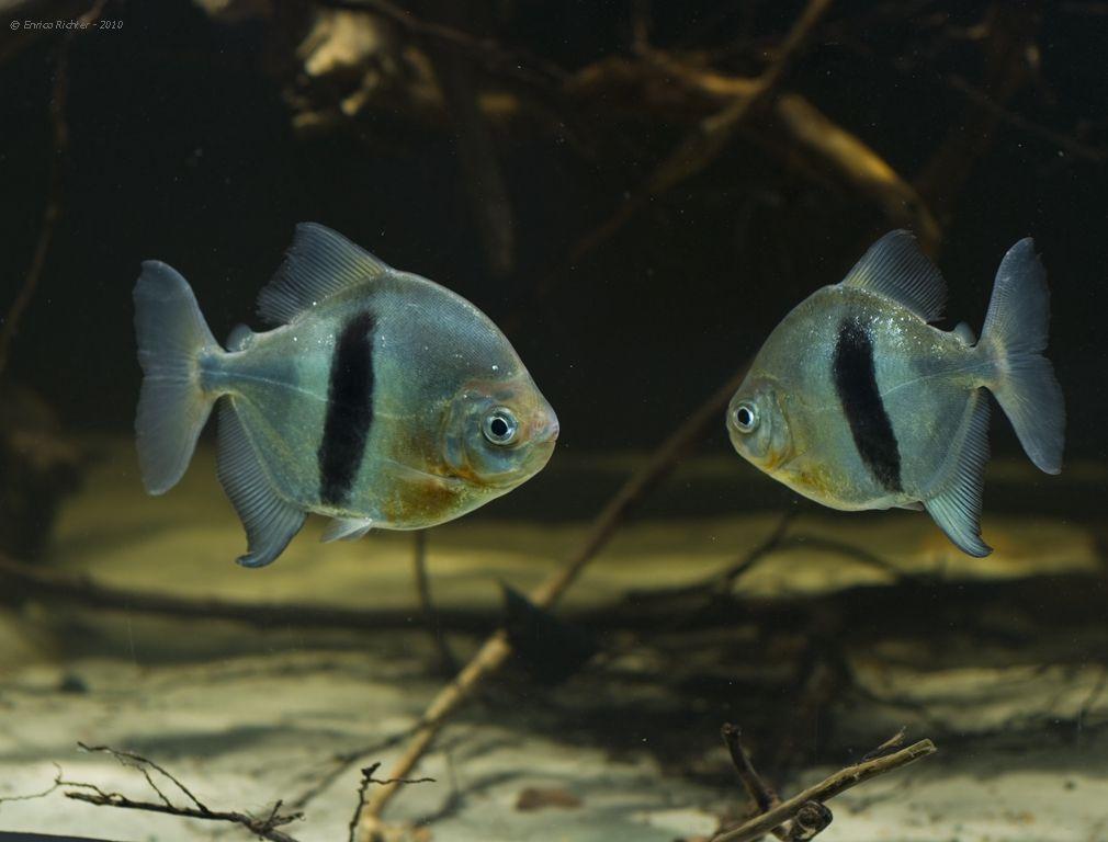 Myleus Schomburgkii Black Barred Silver Dollar Disk Tetra Disk Pacu Blackear Pacu Black Band Myleus Aquarium Fish Freshwater Fish Tropical Fish Aquarium