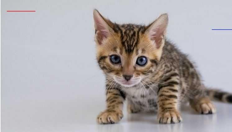 Bengal Kittens For Adoption In Michigan
