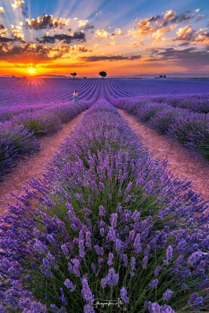 Photo of Lavender fields in bloom (by Ghazanfar Ali Shah)