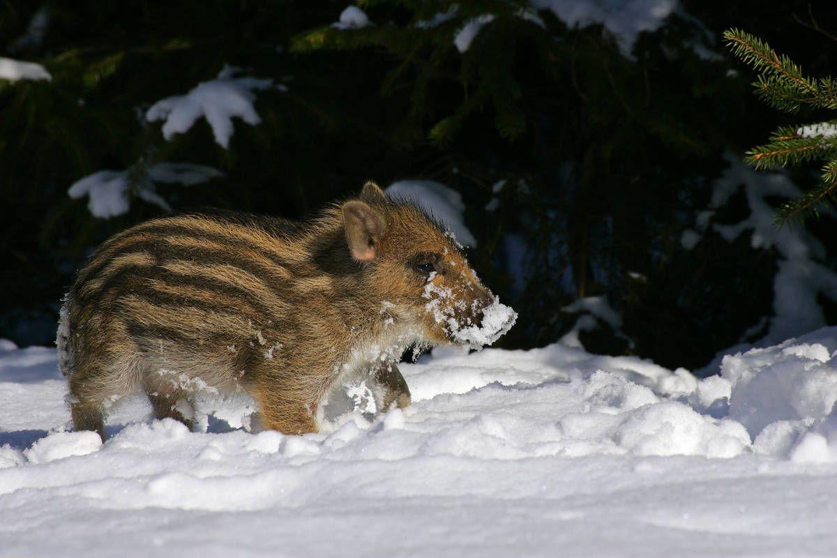 Wild boar piglet, run!
