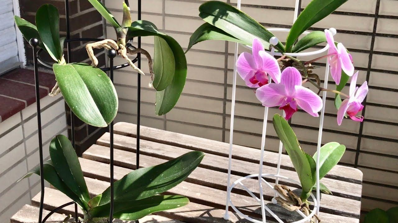 Phalaenopsis Orchids Growing Orchids Orchid Care Orchids Stand