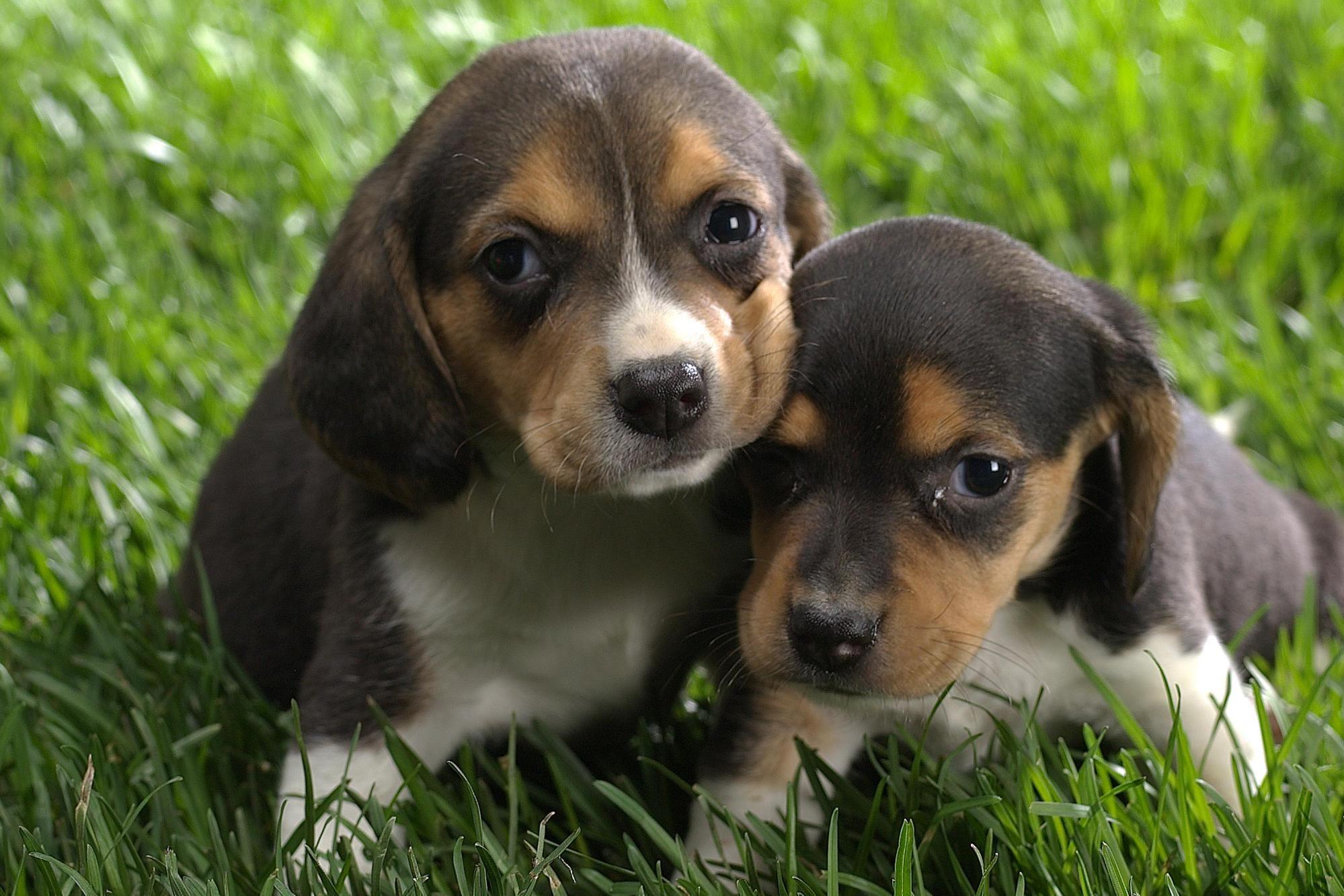 Cool Beagle Puppies Wallpaper Cute Beagles Beagle Puppy Cute