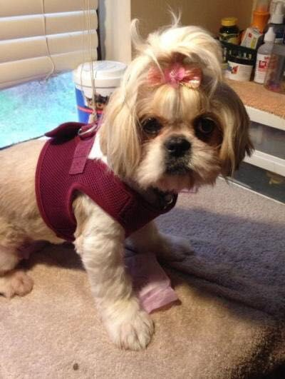 Meet Lexiie A Shih Tzu In Need Of Rescue She S At Crossroads