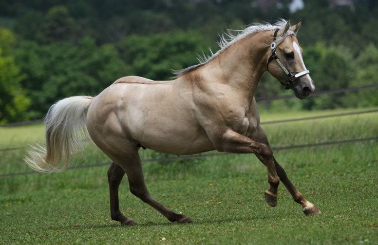 Pinterest horses | Quarter Horse stallion Hollywood Dolby | HORSES!!!!!