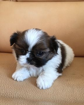 Shih Tzu Puppy For Sale In Los Angeles Ca Adn 28436 On Puppyfinder Com Gender Female Age 7 Weeks Old Shih Tzu Puppy Dogs And Puppies Shih Tzu