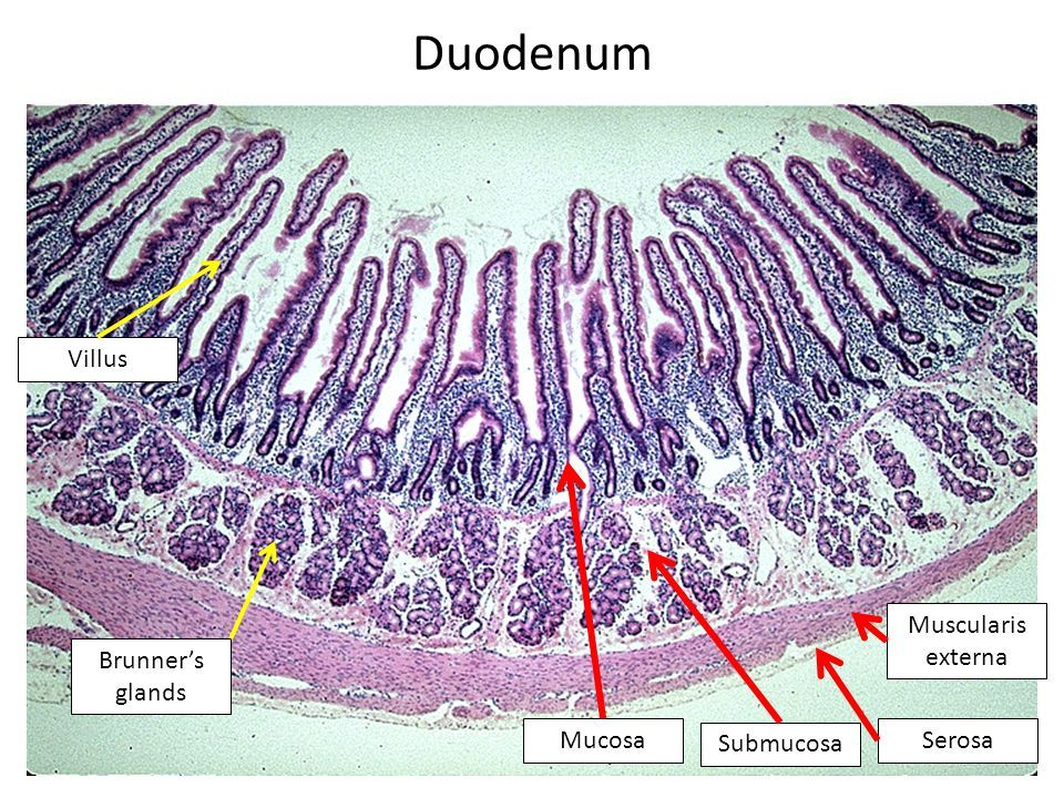 Image result for small intestine duodenum histology ...