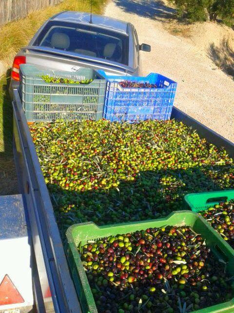 Recogida de la aceituna y obtención de aceite de oliva de calidad en El Cabecico
