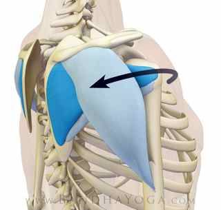 5. Engage the posterior deltoids and the infraspinatus and teres minor muscles of the rotator cuff to pull the shoulders back at the glenohumeral joint and open heart.