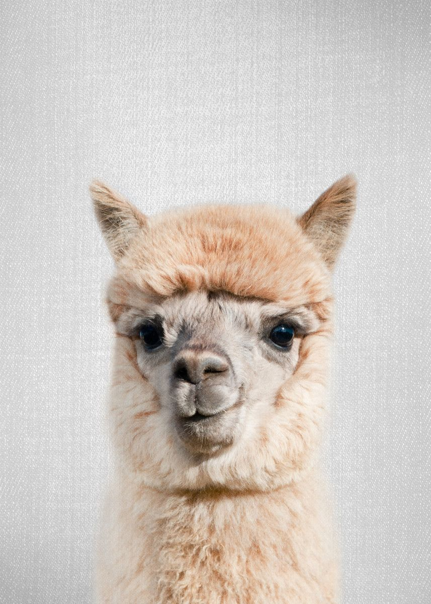 Alpaca ColorfulAlpaca - ColorfulFor more colorful animals check out the collection in the main… | Displate thumbnail
