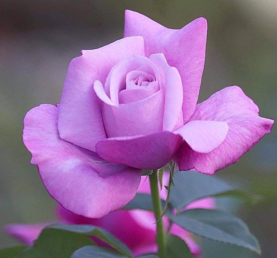 стройный, роза одна лиловая картинка как