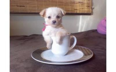 Chi Poo Puppy Is So Cute In Tea Cup Puppies Animal