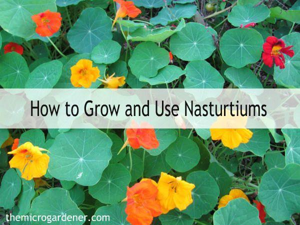 How To Grow Use Nasturtiums Nasturtium Plants Vegetable Garden Planning