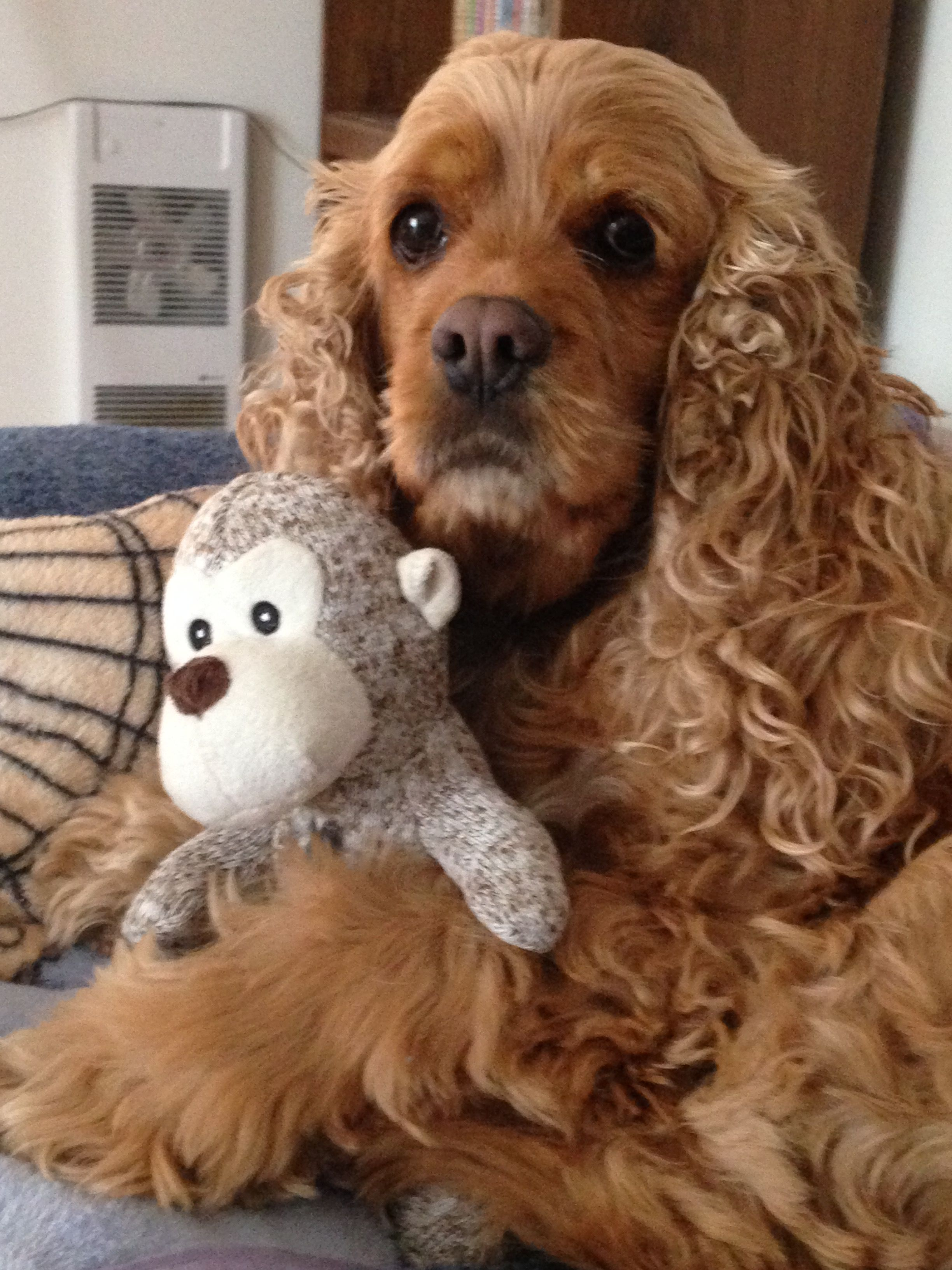 Pin by Debbie Trakas on Cocker spaniels Dogs and puppies