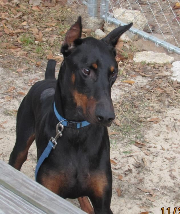 Adopt Cisco On Doberman Pinscher Dog Doberman Dogs