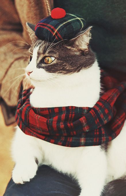 Cat looking debonaire in his tartan tam and scarf.