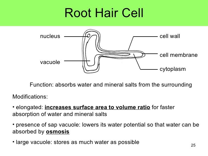 plant root hair cell - google search | charlottes homework ... hair cell diagram