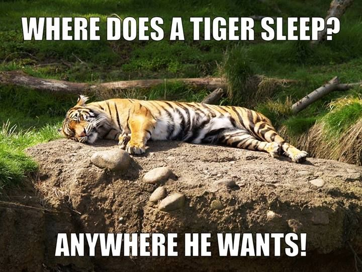 Q Where Does A Tiger Sleep A Anywhere He Wants Funny Riddle