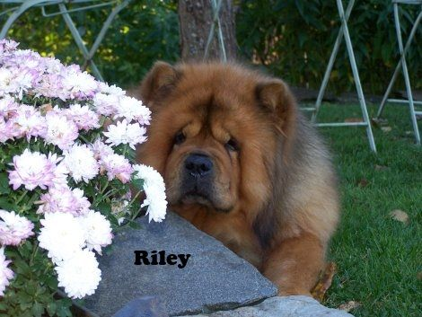 Riley In His Old Age Chow Chow Dogs Chow Chow Breeds
