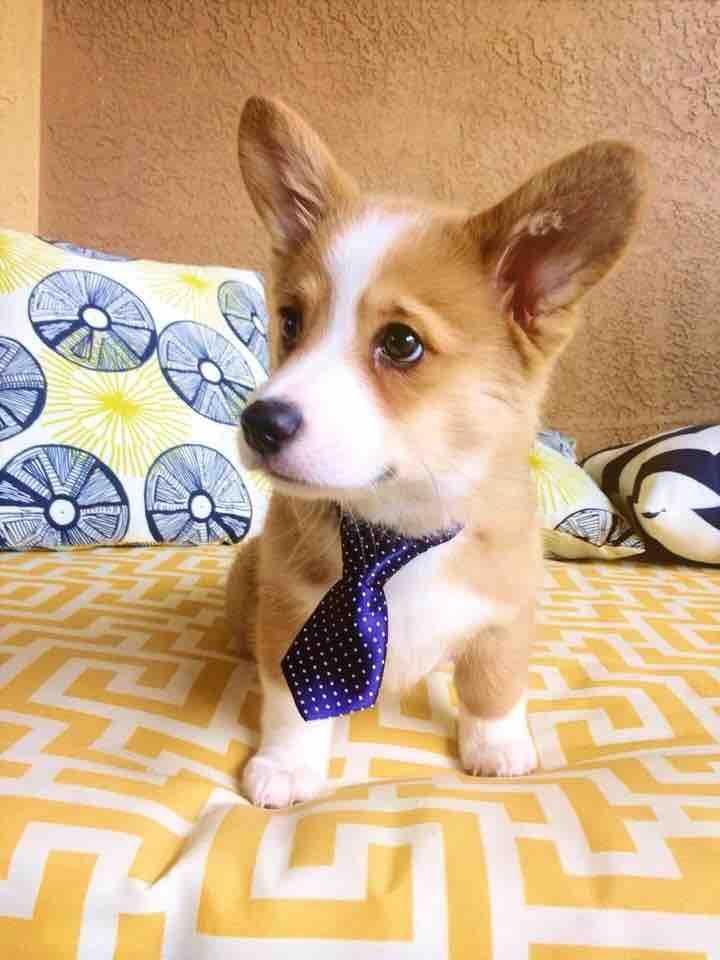Dapper Businessman Corgi Dogs Pup