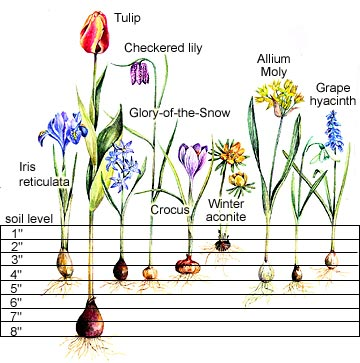 How Deep Should Bulbs Be Planted Tulips Daffodils Small Bulbs Marde Ross Company Fall Bulb Planting Spring Flowering Bulbs Fall Bulbs