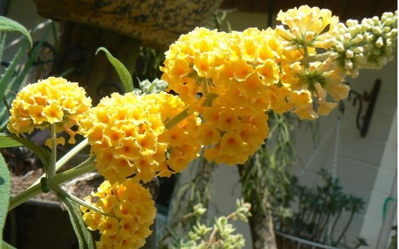 Honeycomb Yellow Butterfly Bush Butterfly Bush Plants Buy Plants